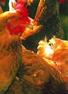 肥後のうまか赤鶏 全品 30%引