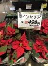 ポインセチア 498円(税抜)