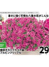 八重咲きカリブラコア苗 ダブルピンクリップル 298円