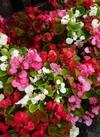 ベゴニア大苗3色植え 198円(税抜)