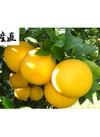 河内晩柑(愛南ゴールドオレンジ) 家庭用 約5kg(14~20玉入) 1,880円(税込)