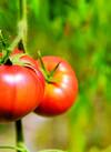 タカギのフルーツトマト 380円(税抜)