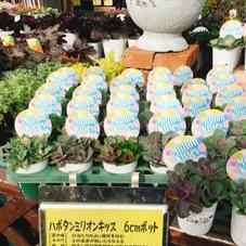 葉牡丹 ミリオンキッス 198円(税抜)