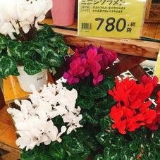 ミニシクラメン 780円(税抜)