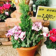 クリスマス寄せ植え 2,980円(税抜)