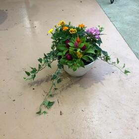 綿半オリジナル 季節の寄せ植え 21cm鉢 877円(税込)